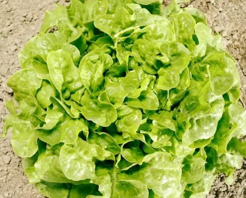 Eichblatt Grün