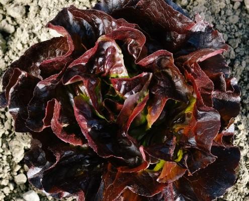 Kopfsalat Rot